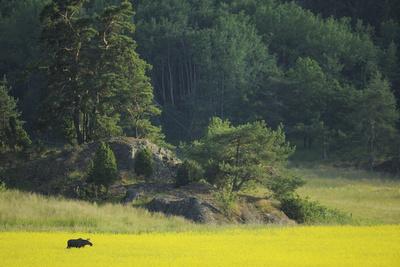 Female European Moose (Alces Alces) in Flowering Field, Elk, Morko, Sormland, Sweden, July 2009 Photographic Print by  Widstrand