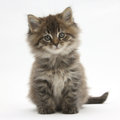 Maine Coon Kitten, 7 Weeks Photographic Print by Mark Taylor