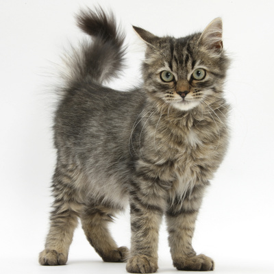Tabby Kitten, 5 Months, Standing Photographic Print by Mark Taylor