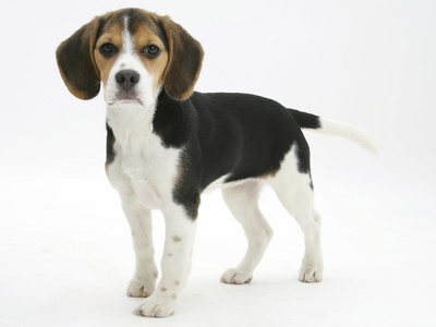 Beagle Puppy, Florrie, 4 Months, Standing Photographic Print by Mark Taylor