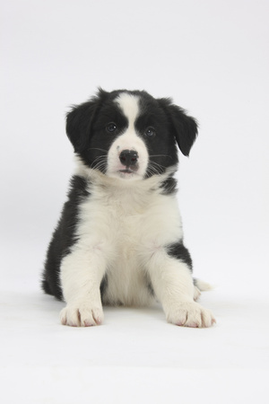 Border Collie Puppy Sitting Photographic Print by Mark Taylor
