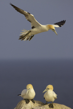 Northern Gannet (Morus Bassanus) Flying over Two on Rock, Saltee Islands, Ireland, June 2009 Photographic Print by  Green