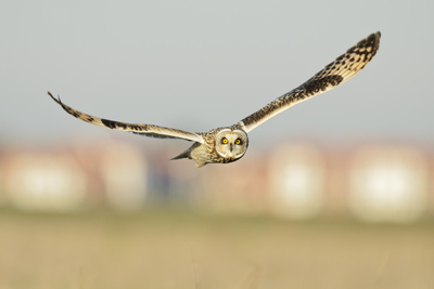 Short-Eared Owl (Asio Flammeus) Hunting over Farmland with Town in Background, Wallasea Island, UK Photographic Print by Terry Whittaker