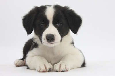 Border Collie Puppy Lying Looking Very Cute Photographic Print by Mark Taylor