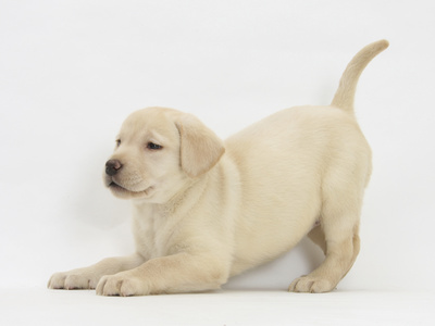 Yellow Labrador Puppy, 7 Weeks, in Play-Bow Photographic Print by Mark Taylor