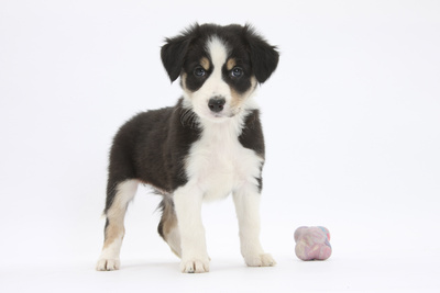 Border Collie Puppy Standing by Toy Photographic Print by Mark Taylor