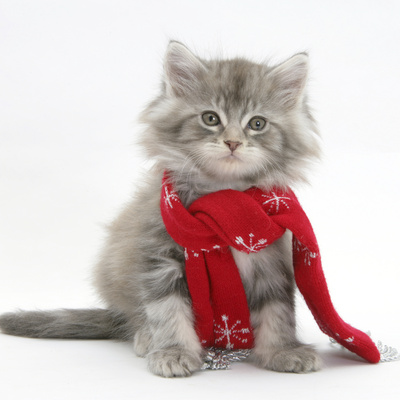 Maine Coon Kitten Wearing a Christmas Scarf Photographic Print by Mark Taylor