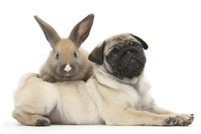 Fawn Pug Puppy, 8 Weeks, and Young Rabbit Photographic Print by Mark Taylor
