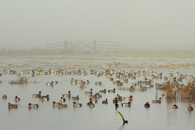 Wigeon (Anas Penelope) on Flooded Marshland with Lapwings (Vanellus Vanellus). Somerset Levels, UK Photographic Print by Nick Upton