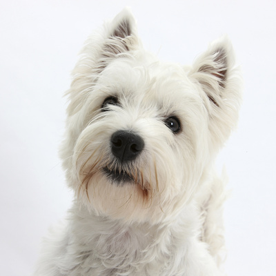 Portrait of a West Highland White Terrier Photographic Print by Mark Taylor