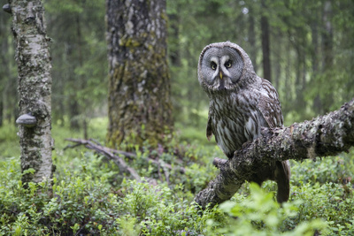 Great Grey Owl (Strix Nebulosa) Perched in Forest, Oulu, Finland. June 2008 Photographic Print by  Cairns