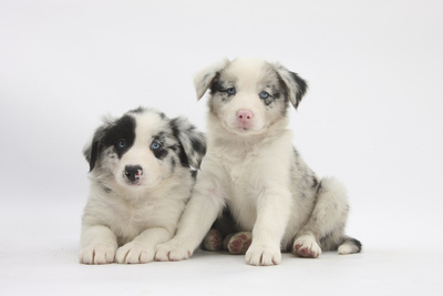 Border Collie Puppies Lying Photographic Print by Mark Taylor