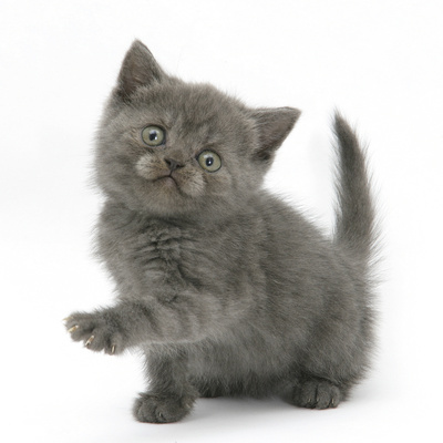 Grey Kitten Holding Out Paw Photographic Print by Mark Taylor