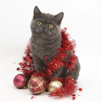 Grey Kitten with Christmas Decorations Photographic Print by Mark Taylor