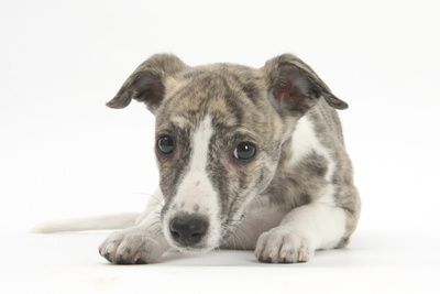 Brindle-And-White Whippet Puppy, 9 Weeks Photographic Print by Mark Taylor