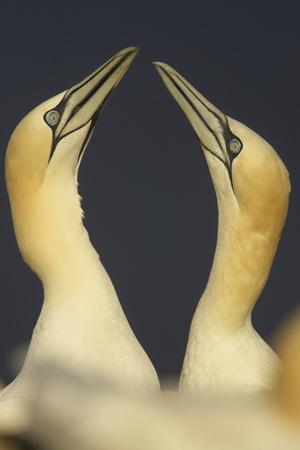 Northern Gannets (Morus Bassanus) Displaying, Saltee Islands, Ireland, May 2008 Photographic Print by  Green