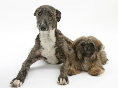 Brindle Lurcher Dog, and Brown Shih-Tzu Photographic Print by Mark Taylor