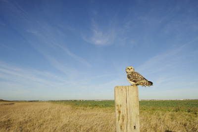 Short-Eared Owl (Asio Flammeus) Perched on Post, Wallasea Island Wild Coast Project, Essex, UK Photographic Print by Terry Whittaker