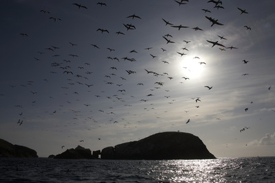 Northern Gannets (Morus Bassanus) in Flight, the Flannans, Outer Hebrides, Scotland, July 2009 Photographic Print by  Green