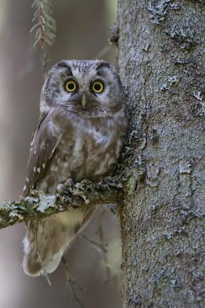 Tengmalms Owl (Aegolius Funereus) Perched in Tree, Bergslagen, Sweden, June 2009 Photographic Print by  Cairns