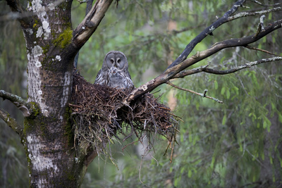 Great Grey Owl (Strix Nebulosa) with Chick in Nest in Boreal Forest, Northern Oulu, Finland, June Photographic Print by  Cairns