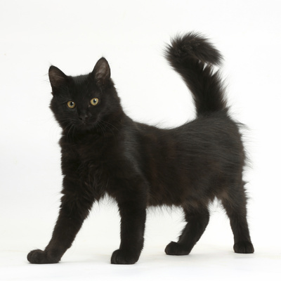 Fluffy Black Kitten, 12 Weeks Old, Standing Photographic Print by Mark Taylor