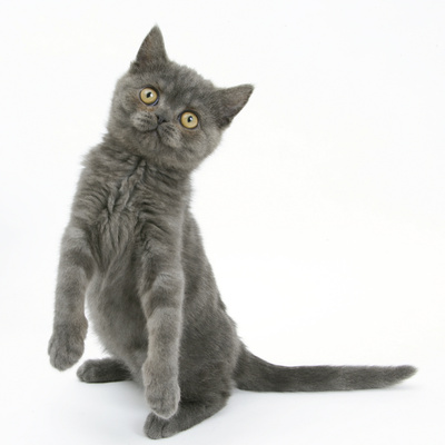 Grey Kitten Standing on Haunches Photographic Print by Mark Taylor