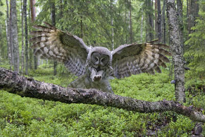 Great Grey Owl (Strix Nebulosa) Landing on Branch, Oulu, Finland, June 2008 Photographic Print by  Cairns