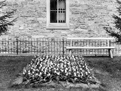 Still Life of Tulip Garden, Ca. 1905 Photographic Print