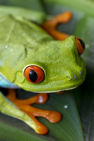 Red Eyed Tree Frog, Costa Rica Photographic Print by Paul Souders