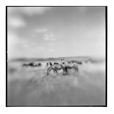 Zebra Herd, Masai Mara Game Reserve, Kenya Photographic Print by Paul Souders