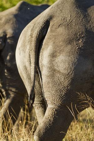 White Rhino Tail, Sabi Sabi Reserve, South Africa Fotografisk tryk af Paul Souders