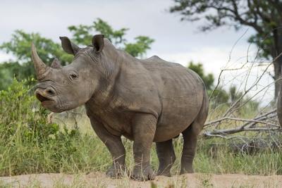 White Rhino, Sabi Sabi Reserve, South Africa Fotografisk tryk af Paul Souders