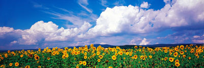Fields of Sunflowers Rudesheim Vicinity Germany open field summer scenes photo poster