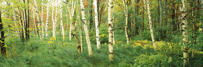 Downy Birch (Betula Pubescens) Trees in a Forest, Wild Gardens of Acadia, Acadia National Park Photographic Print