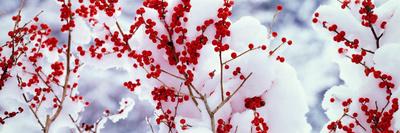 Holly Trees Kyoto Keihoku-Cho Japan Photographic Print