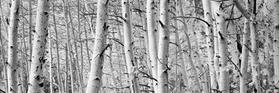 Aspen Trees in a Forest, Rock Creek Lake, California, USA Photographic Print