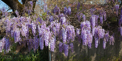 Wisteria Flowers in Bloom, Sonoma, California, USA Photographic Print