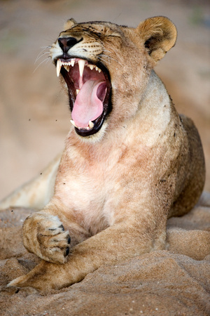 Lioness (Panthera Leo) Yawning in a Forest, Tarangire National Park, Tanzania Photographic Print by Green Light Collection