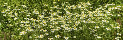 German Chamomile (Matricaria Chamomilla) in Bloom Photographic Print
