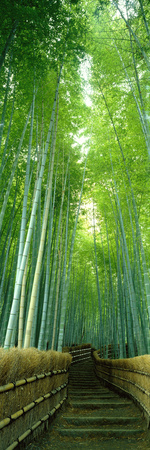 Path Through Bamboo Forest Kyoto Japan Fotografisk tryk