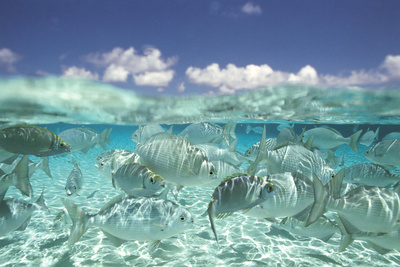 School of fish in shallow water sea life art photo poster