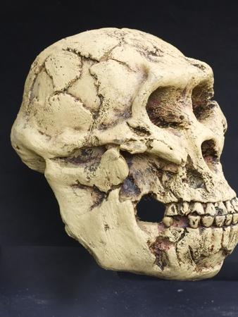 Australopithecus Afarensis (