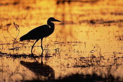 Egret Wading Through the Khwai River Photographic Print