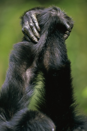 Close-Up of Chimpanzees Holding Hands Photographic Print