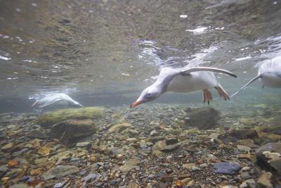 Gentoo Penguins Swimming on South Georgia Island Photographic Print