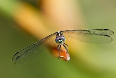 Dragonfly, Osa Peninsula, Costa Rica Photographic Print