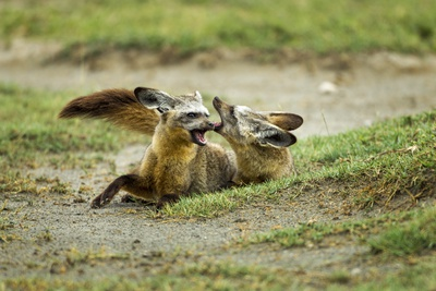 Bat Eared Foxes Photographic Print