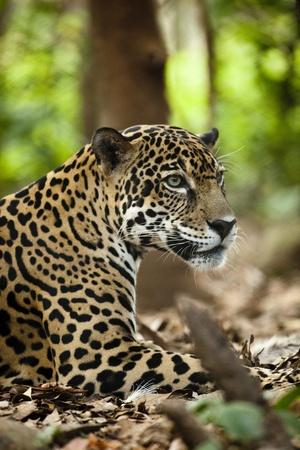 Captive Jaguar at Las Pumas Rescue Shelter Photographic Print