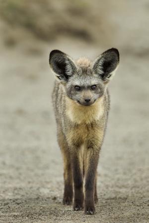 Bat Eared Fox Photographic Print